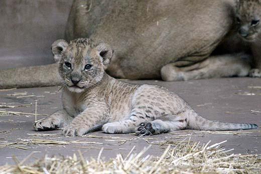 Lion Cubs13
