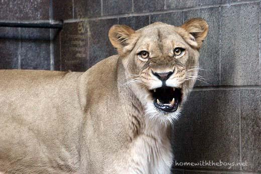 Lion Cubs19