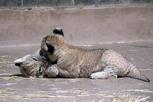 Lion Cubs2