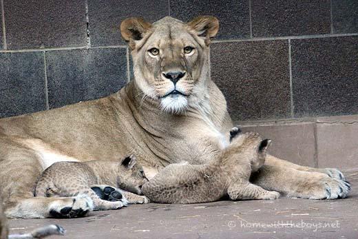 Lion Cubs21