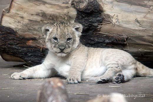 Lion Cubs23