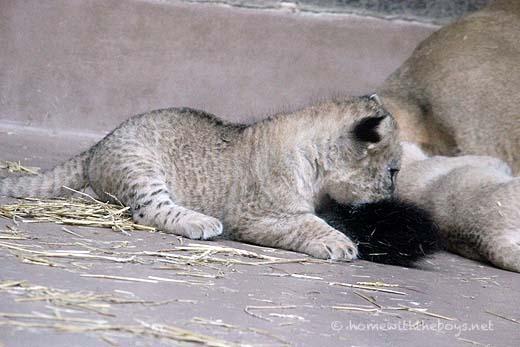 Lion Cubs31