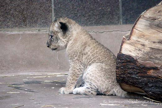 Lion Cubs41