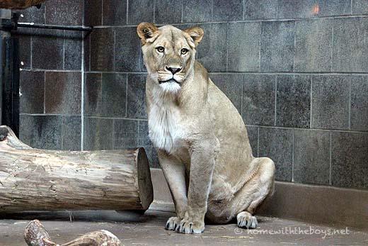 Lion Cubs42