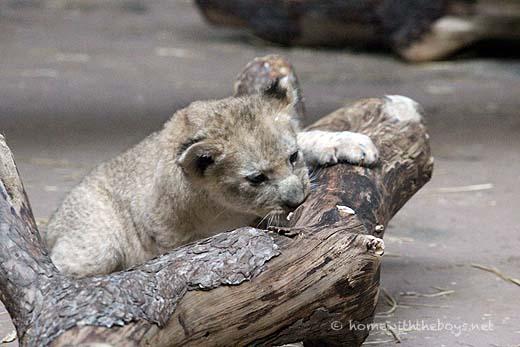 Lion Cubs44