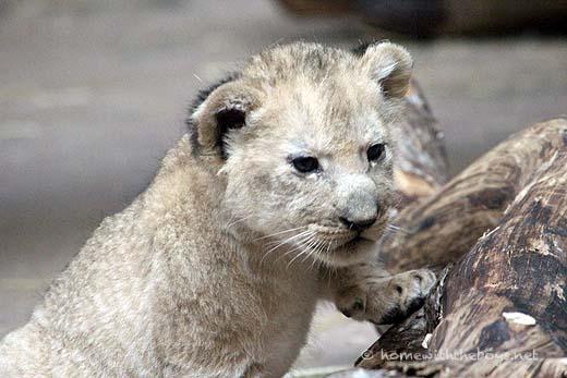 Lion Cubs47