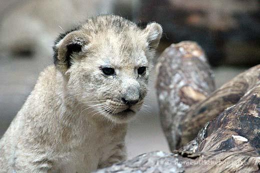 Lion Cubs50