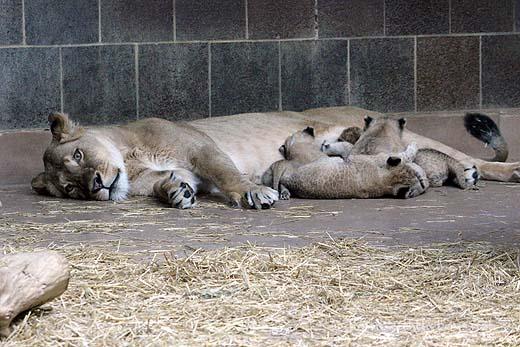 Lion Cubs53