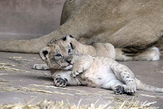 Lion Cubs8